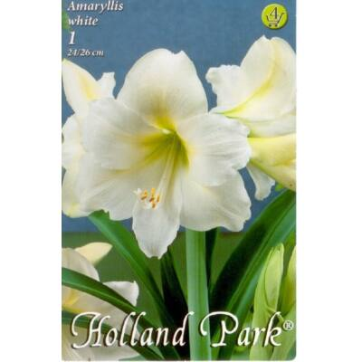 Amaryllis virághagyma 1-db Hippeastrum Fehér