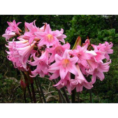 Amaryllis virághagyma 1-db Belladonna