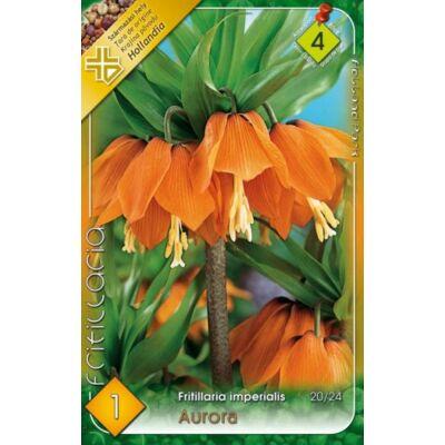 Császárkorona frittillaria aurora 1-db-os