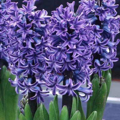Jácint Virághagyma 3db-os Delft Blue