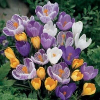 crocus virághagya Crysanthus 15db