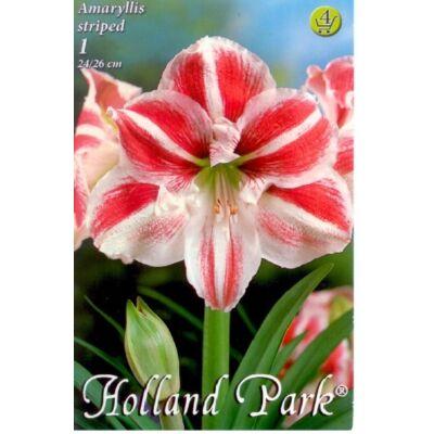 Amaryllis virághagyma 1-db Hippeastrum Striped Cirmos