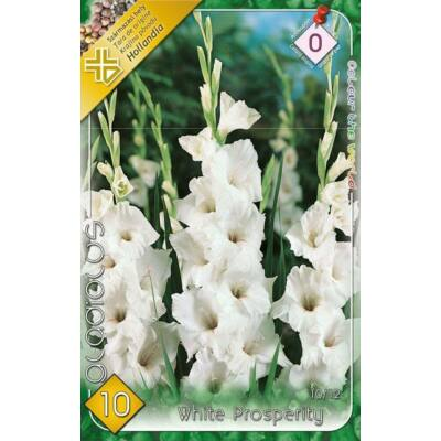 Kardvirág Gladiolus White 10db/cs