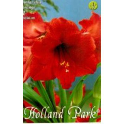 Amaryllis virághagyma 1-db Hippeatrum Piros