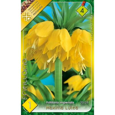 Császárkorona Fritillaria Lutea 1-db-os