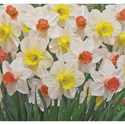 Nárcisz virághagyma 10db-os multiflowered mix