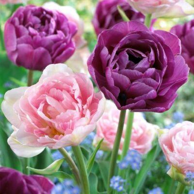 Tulipán virághagyma 10-db-os Duo  double purple pink