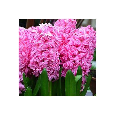 Jácint Virághagyma 3db-os Pink Pearl