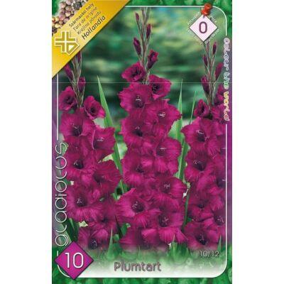Kardvirág Gladiolus Plumtart 10db/cs