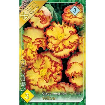 Begónia  Crispa Marginata  Yellow 3db/cs