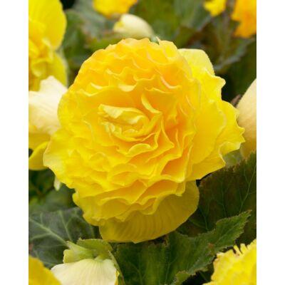 Begónia  Double Large Yellow 3db/cs