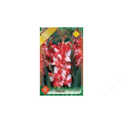 Kardvirág Gladiolus Zizanie 8db/cs